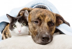 sad dog and cat lying on a pillow under a blanket. isolated on w